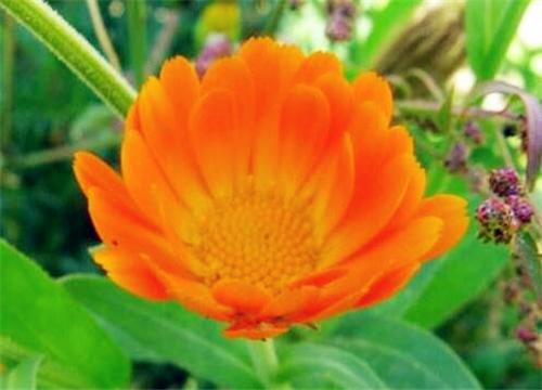 金盏菊什么时候播种最好?3点详解金盏菊种植注意事项!